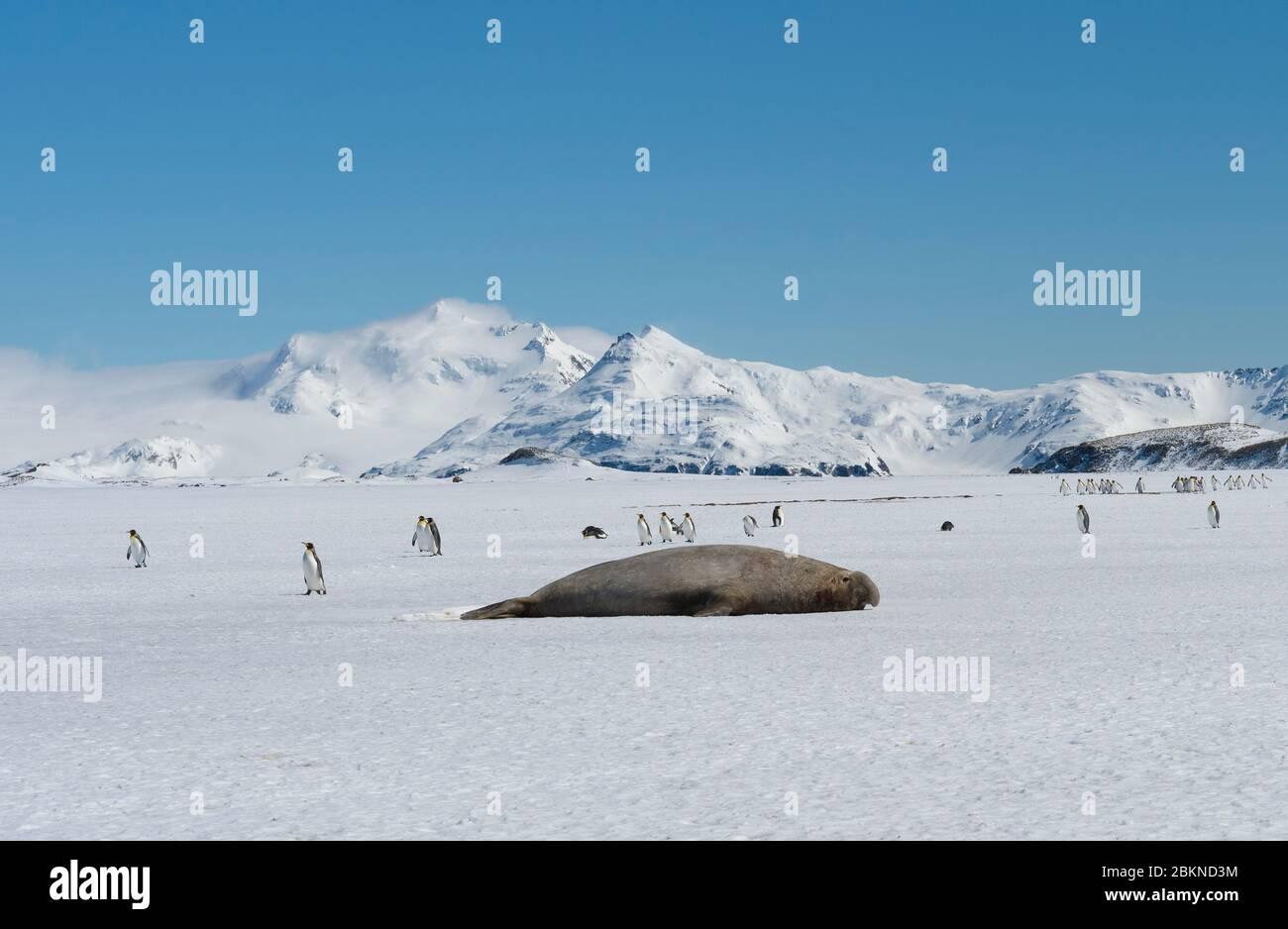 Male Southern Elephant seal (Mirounga leonina) and group of King Penguin (Aptenodytes patagonicus) walking on snow, Salisbury Plain, South Georgia Isl Stock Photo