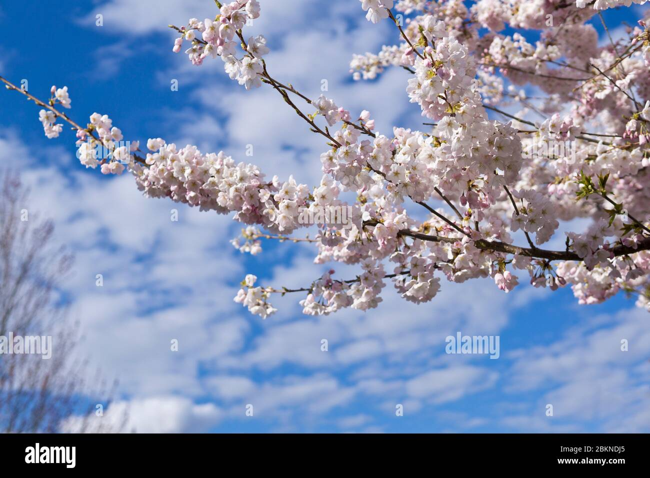 Beautiful pale pink ornamental cherry blossoms against the blue sky in Vancouver Canada. Stock Photo