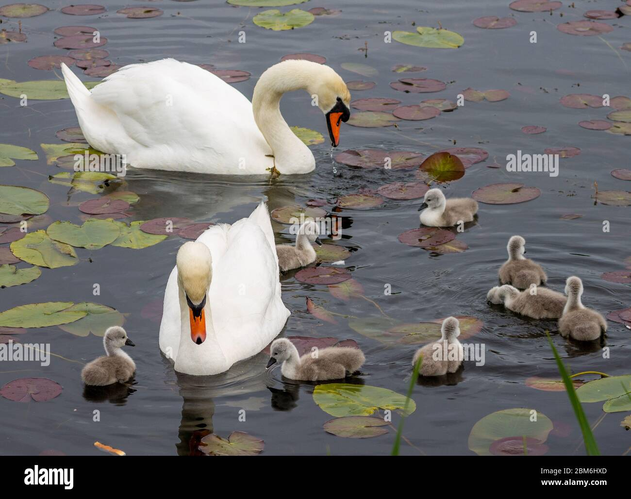 union-hall-west-cork-ireland-07th-may-2020-after-days-of-driving-rain-and-cold-temperatures-this-family-of-swans-with-cygnets-hatched-yesterday-took-advantage-of-the-sunshine-with-temperatures-up-to-16-deg-with-a-warm-breeze-to-get-out-onto-the-lake-credit-aphperspective-alamy-live-news-2BM6HXD.jpg