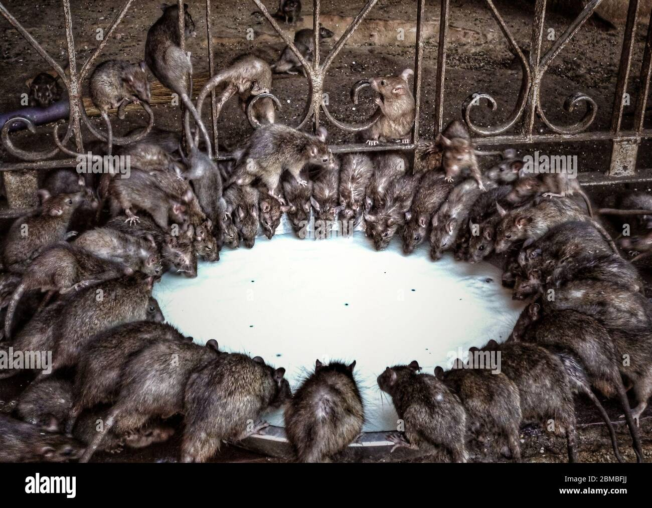 a-group-of-rats-rattus-rattus-sipping-mi