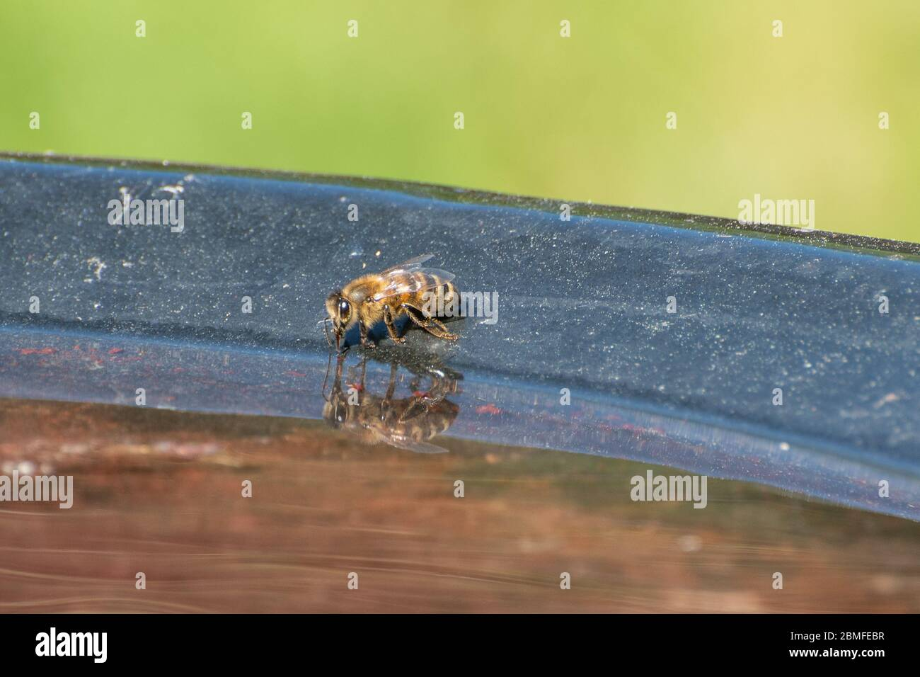 honey-bee-apis-mellifera-drinking-water-from-a-bird-bath-in-a-garden-garden-wildlife-uk-2BMFEBR.jpg