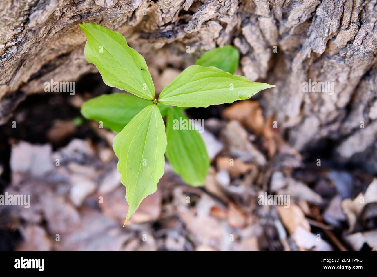 view-from-above-of-a-trillium-plant-leaves-after-the-flower-has-fallen-off-with-bark-background-2BMHWRG.jpg