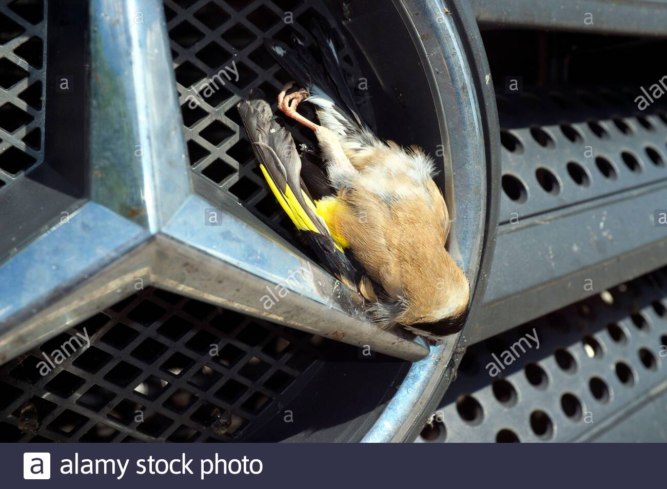 A goldfinch that has died after being hit by a moving vehicle and getting embedded in to the front grille. Wales, UK. Stock Photo