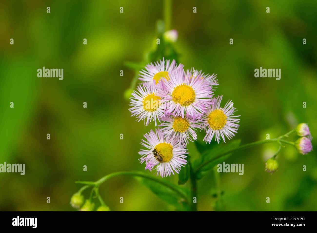 flowers-daisey-wildflower-purple-petals-yellow-mid-atlantic-maryland-2BN7E2N.jpg