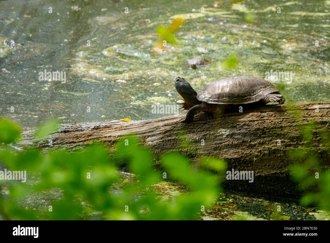usa-maryland-poolesville-mckee-beshers-wildlife-management-area-turtles-on-a-log-covered-in-duckweed-2BN7E30.jpg