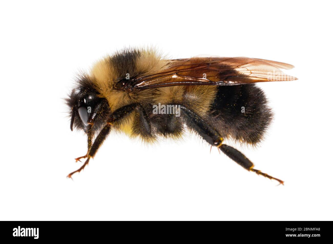 Rusty patched bumblebee (Bombus affinis), female, worker, Madison, Wisconsin, USA. Meetyourneighbours.net project Stock Photo