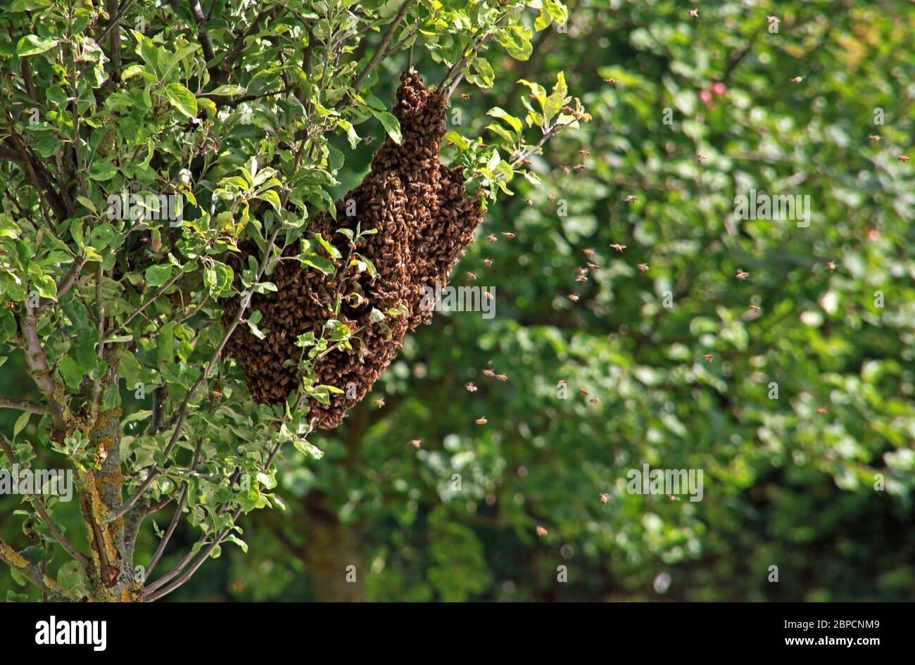 HotpixUK,@HotpixUK,GoTonySmith,in summer,Cheshire,England,UK,Bee,swarming,on apple trees,apple trees,trees,tree,summer,resting,buz,drone,drones,bee queen,camouflaged,swarming signs