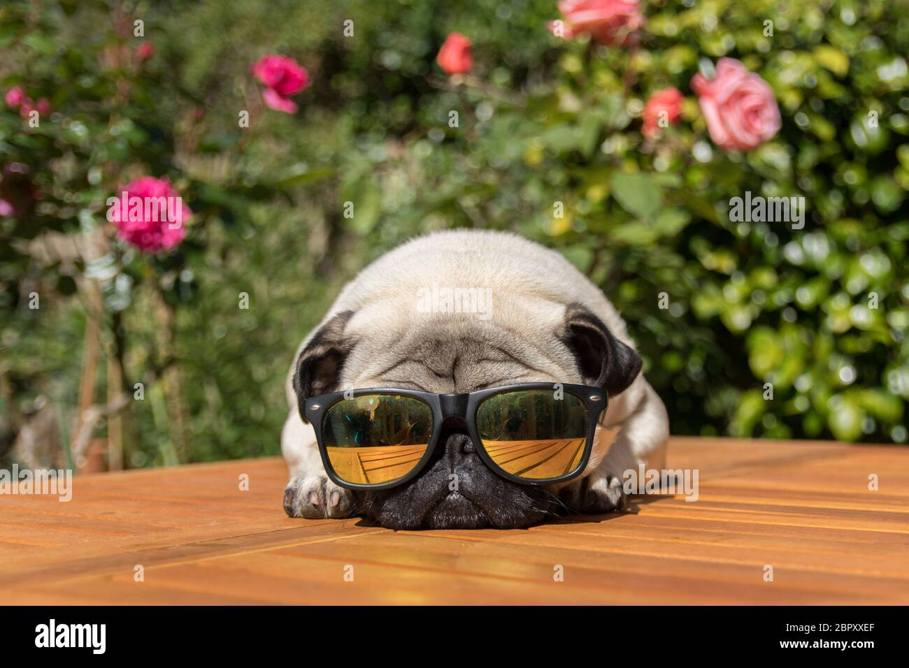 Wadebridge, Cornwall, UK. 20th May 2020. UK Weather. Dennis the Pug out in his back garden early this morning making the most of the sunshine before it gets too hot. It is forecast to be the hottest day of the year so far in the UK.  Credit Simon Maycock / Alamy Live News. Stock Photo