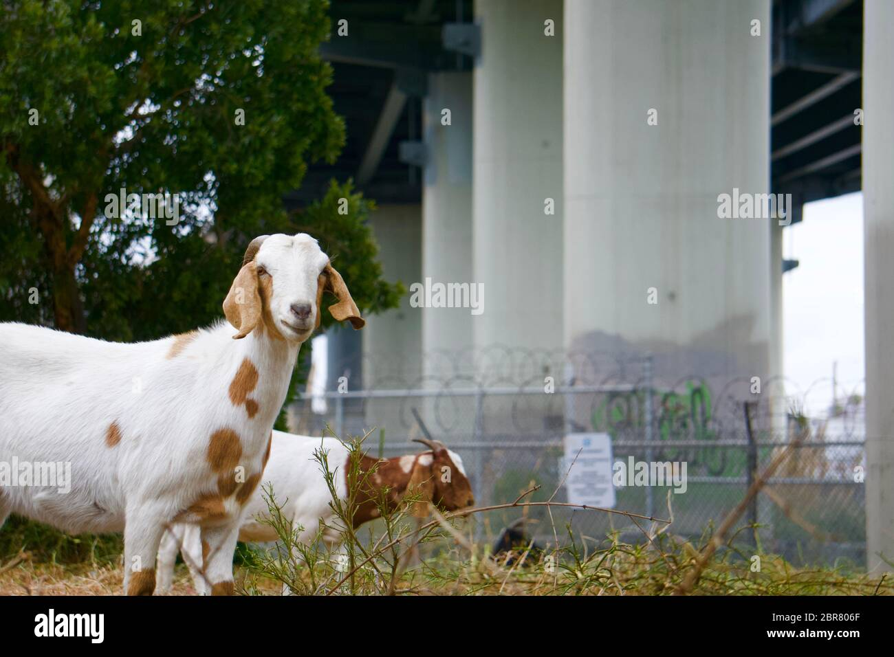 Rented grazing goats hired by the city to graze and remove weeds under the highways on the Bay Bridge Trail. Oakland, California Stock Photo