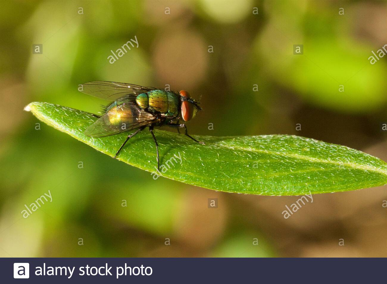 greenbottle-blowfly-lucilia-sp-on-a-green-leaf-2BTEF6A.jpg