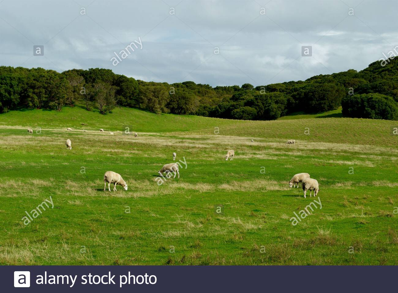 sheep-grazing-in-a-green-undulating-paddock-in-south-west-western-australia-2BTEFEM.jpg