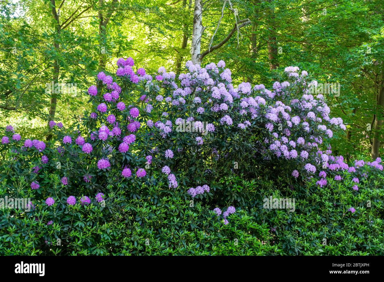 common-rhododendrons-rhododendron-ponticum-in-flower-by-the-road-in-fleet-hampshire-uk-rhododendrons-are-a-non-native-invasive-plant-in-the-uk-2BTJXPH.jpg