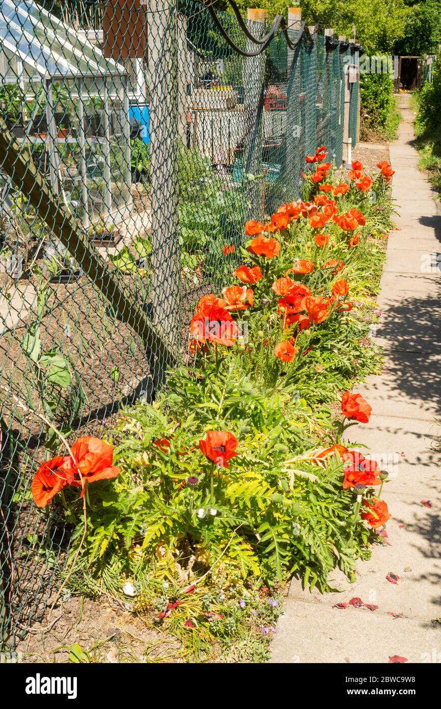 Red poppies in a border outside an allotment garden, England, UK Stock Photo