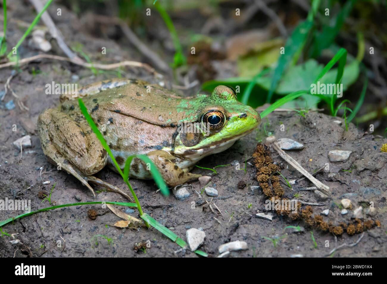 animals-frogs-american-bullfrog-lithobates-catesbeianus-near-a-pond-in-poolesville-maryland-md-adult-2BWD1K4.jpg