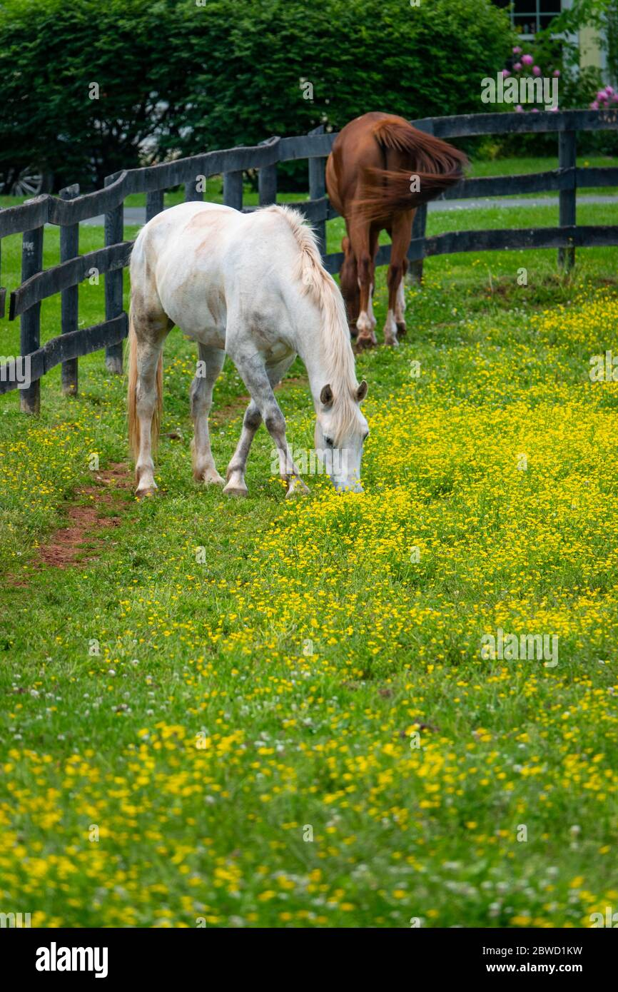 Horses in a field of buttercups in Poolesville Maryland MD horse farm Stock Photo