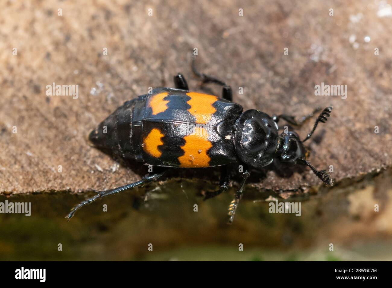 common-sexton-beetle-nicrophorus-vespilloides-also-called-burying-beetle-uk-2BWGC7M.jpg