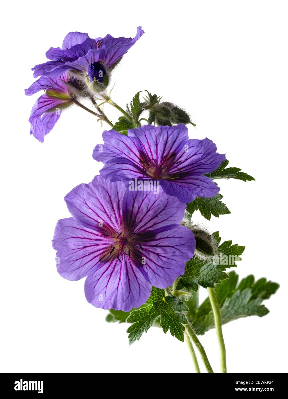 Late spring flowers of the hardy perennial Geranium x magnificum on a white background Stock Photo