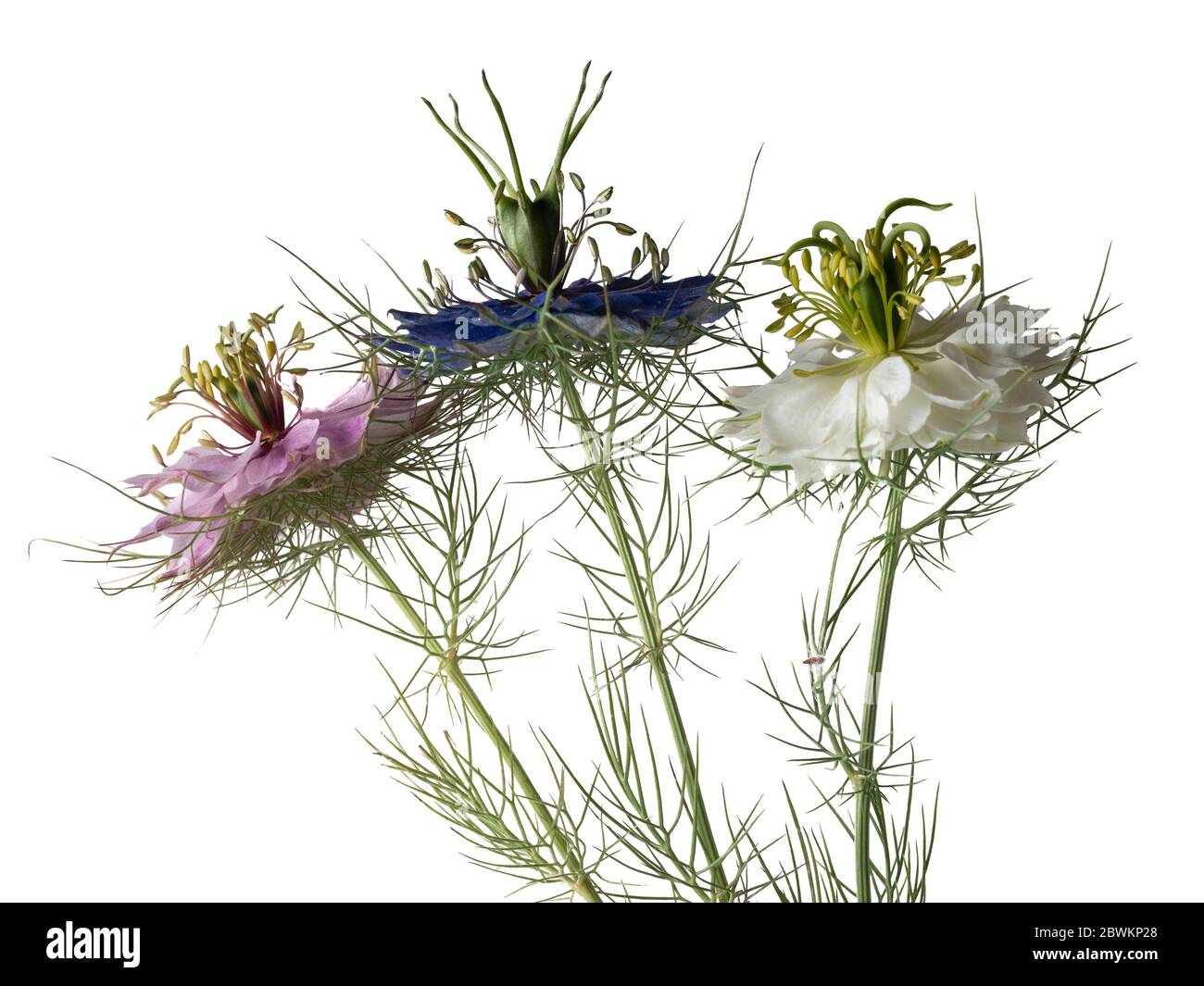 mixed-pink-white-and-blue-group-of-the-hardy-annual-love-in-the-mist-nigella-damascena-on-a-white-background-2BWKP28.jpg