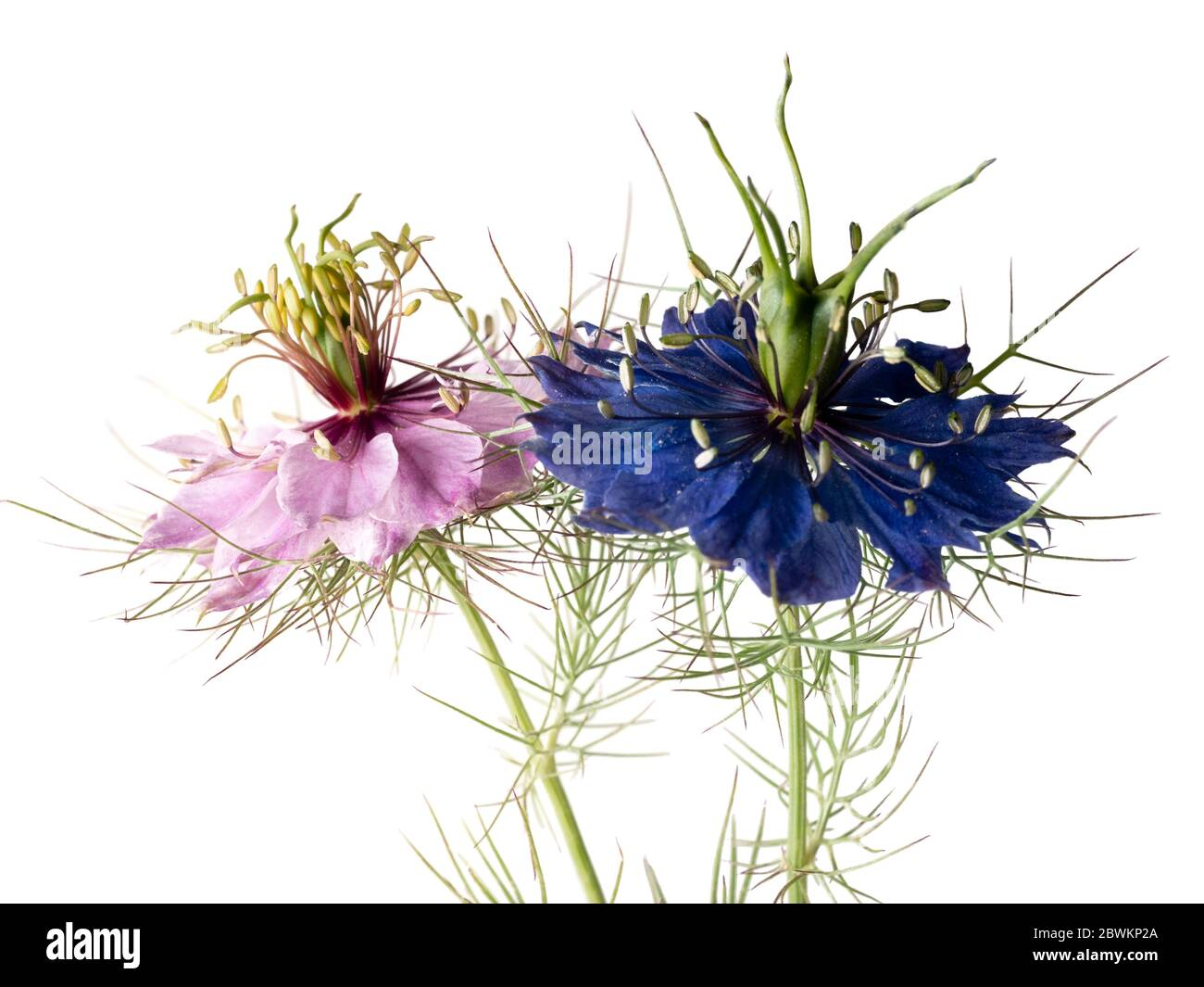 Mixed pink and blue group of the hardy annual Love in the Mist, Nigella damascena, on a white background Stock Photo