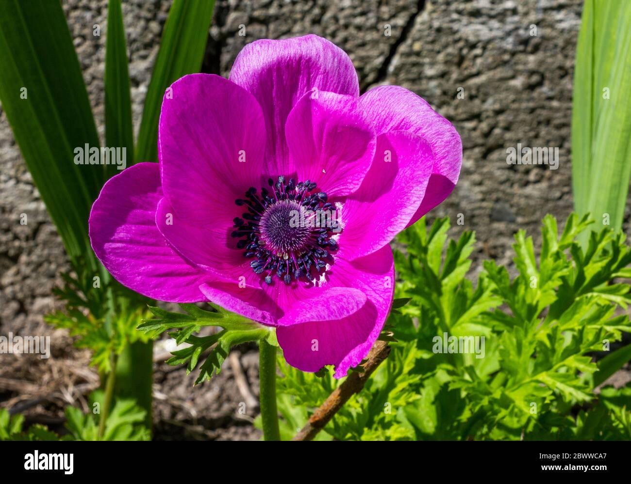 anemone-ranunculaceae-in-full-flower-2BWWCA7.jpg