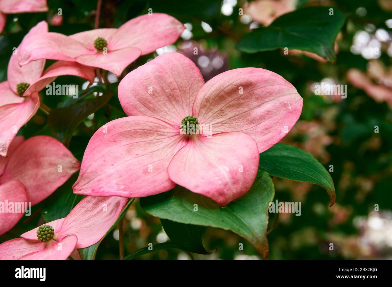 closeup-of-red-dogwood-flowers-blooming-