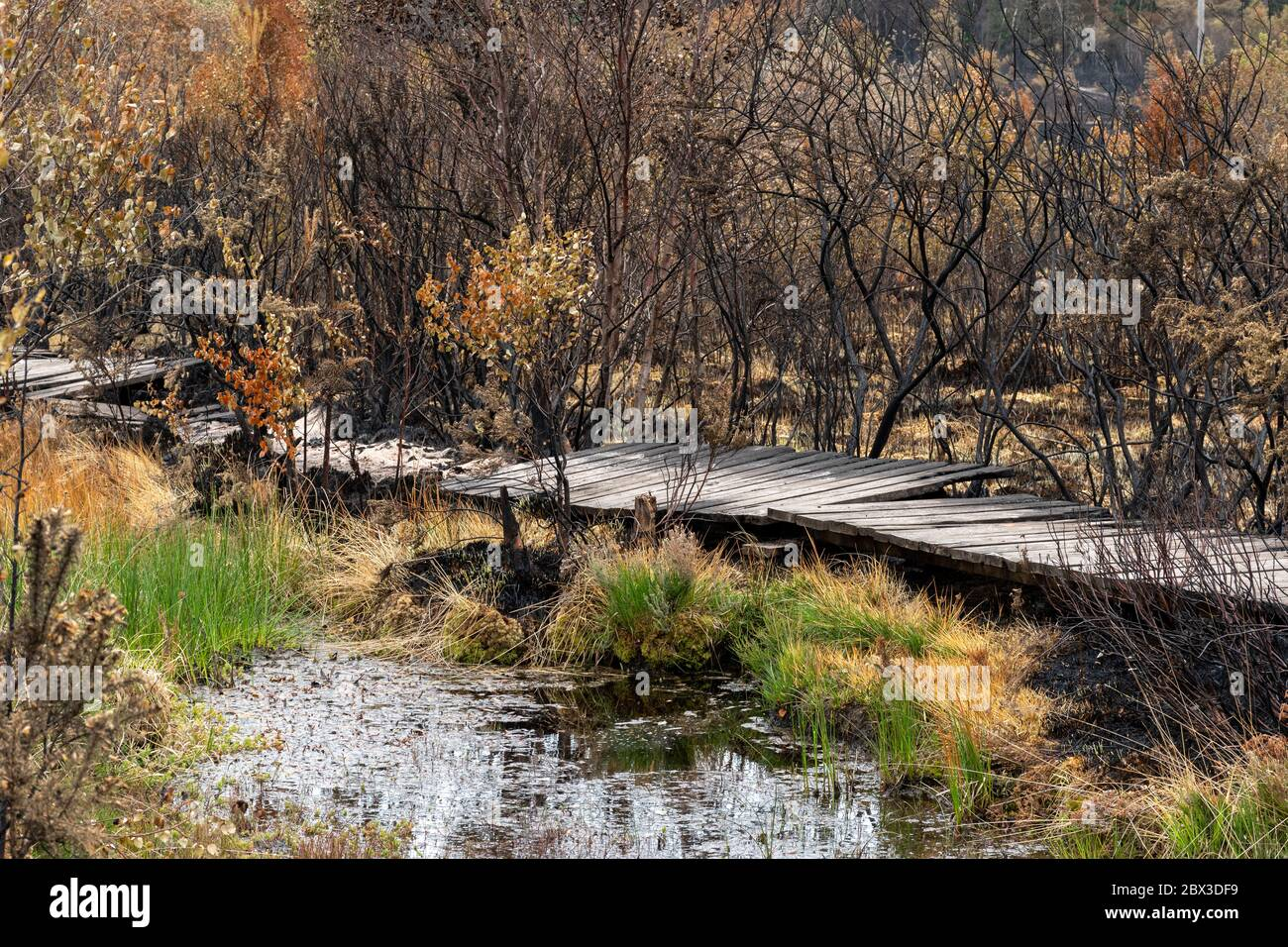 june-4th-2020-aftermath-of-a-large-wildfire-at-thursley-common-national-nature-reserve-in-surrey-uk-the-fire-which-started-on-may-30th-2020-has-devastated-about-150-hectares-of-heathland-an-important-habitat-for-many-wildlife-species-such-as-rare-reptiles-and-heathland-birds-the-boardwalk-through-the-wetter-areas-of-the-reserve-has-also-been-badly-damaged-the-cause-is-not-established-but-could-have-been-due-to-careless-disposal-of-a-cigarette-or-using-a-disposable-barbecue-during-a-long-hot-dry-spell-of-weather-2BX3DF9.jpg