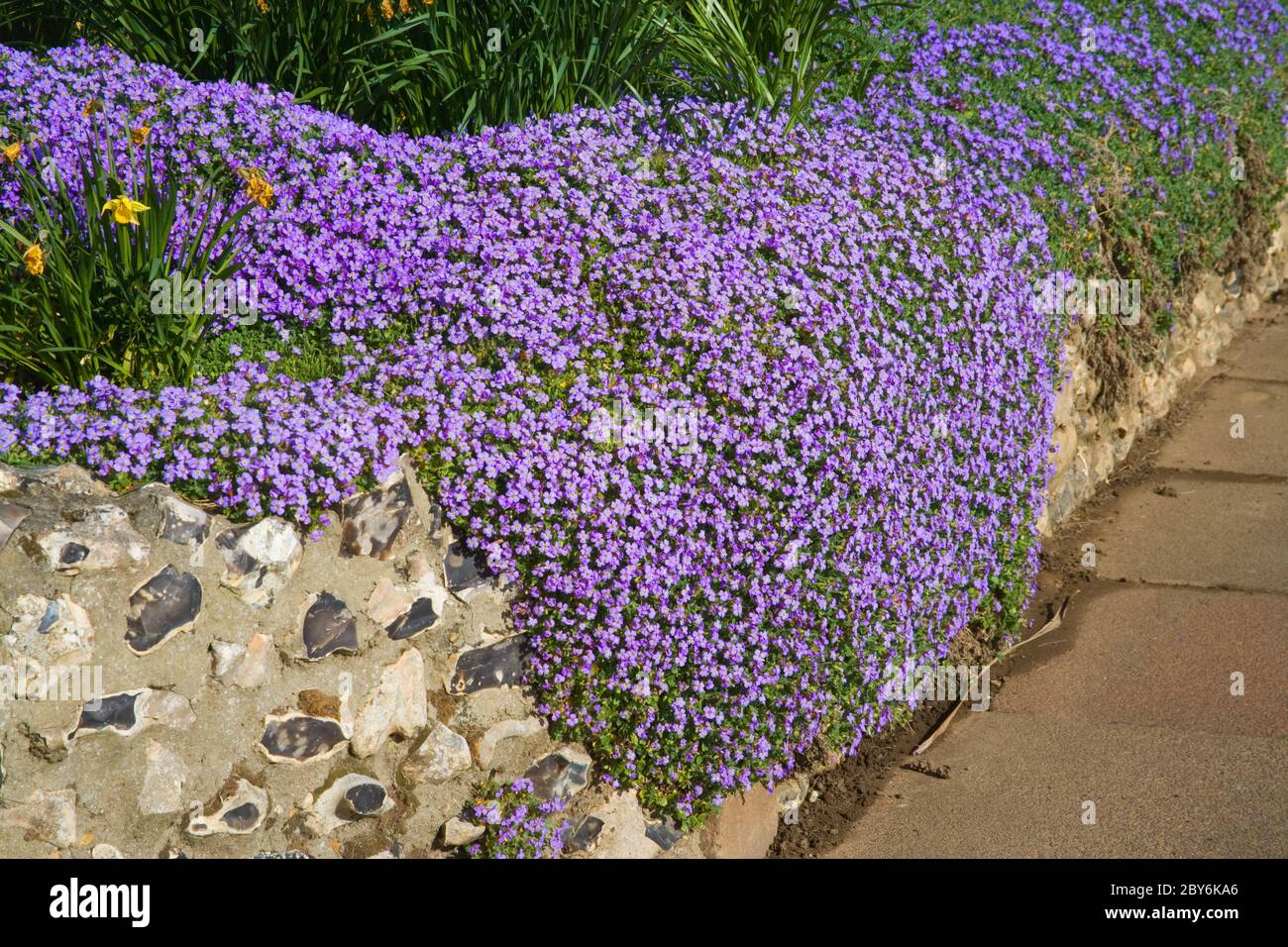aubrieta flowers in the public gardens at hove on the east sussex coast Stock Photo