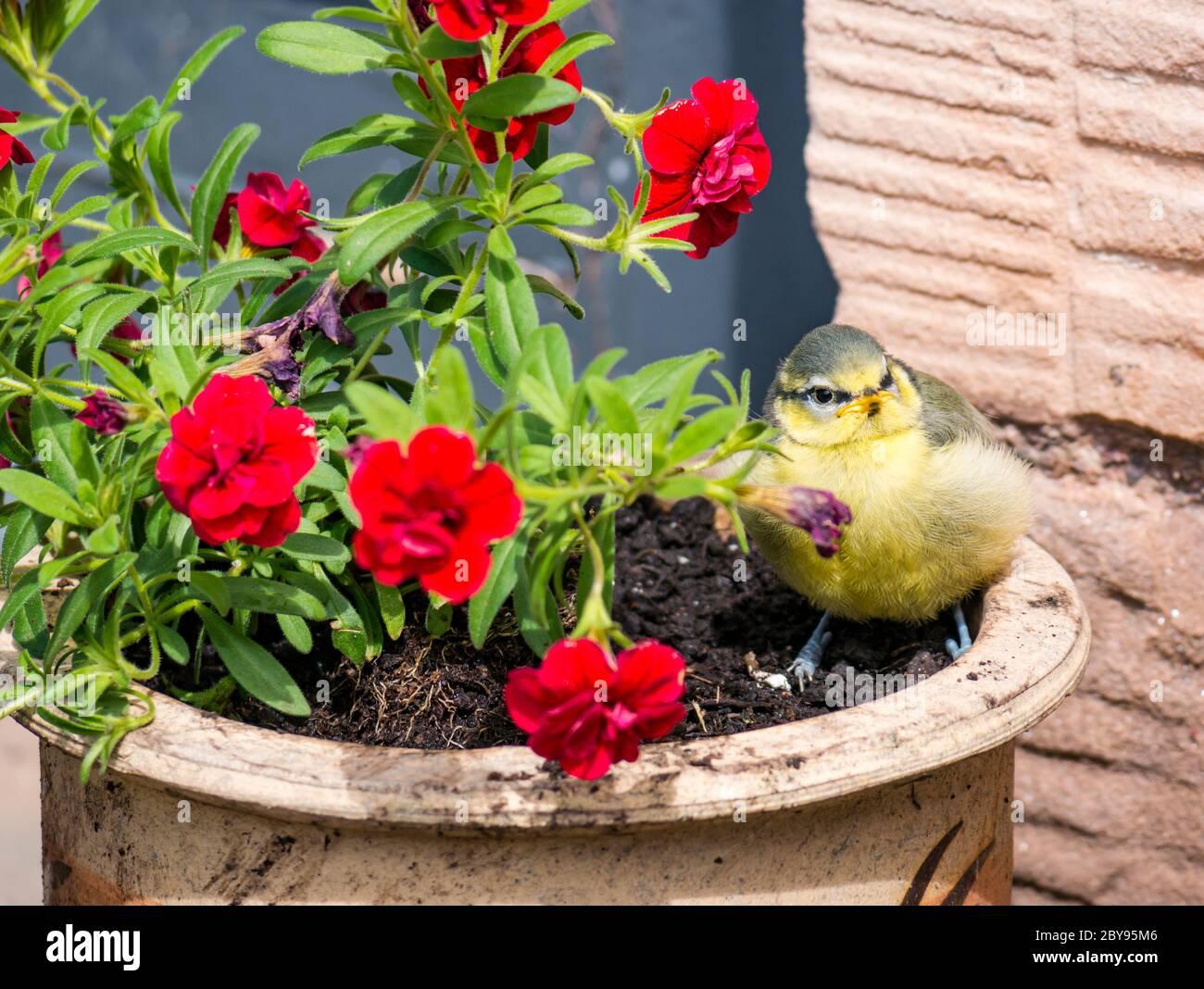 blue-tit-fledgling-in-flowerpot-on-sunny