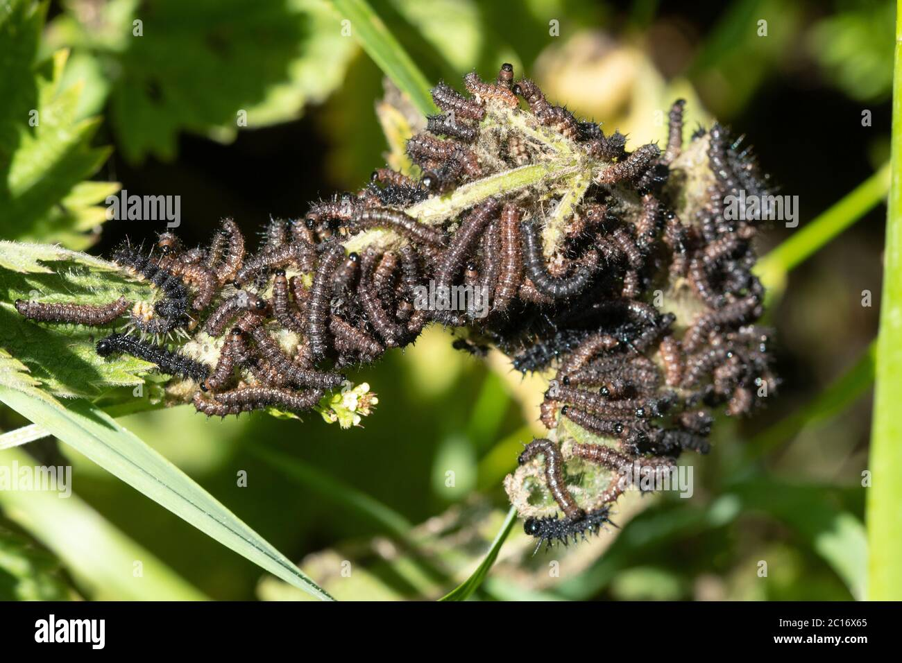 larvae-caterpillars-of-the-peacock-butterfly-aglais-io-basking-and-feeding-on-stinging-nettle-uk-2C16X65.jpg