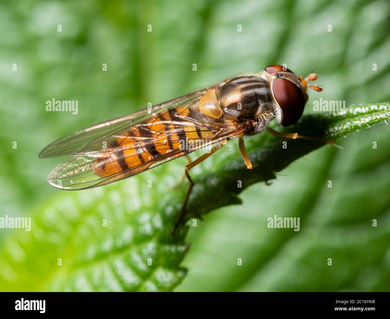 Orange and black banded adult male wasp mimic marmalade hoverfly, Episyrphus balteatus, in a UK garden Stock Photo