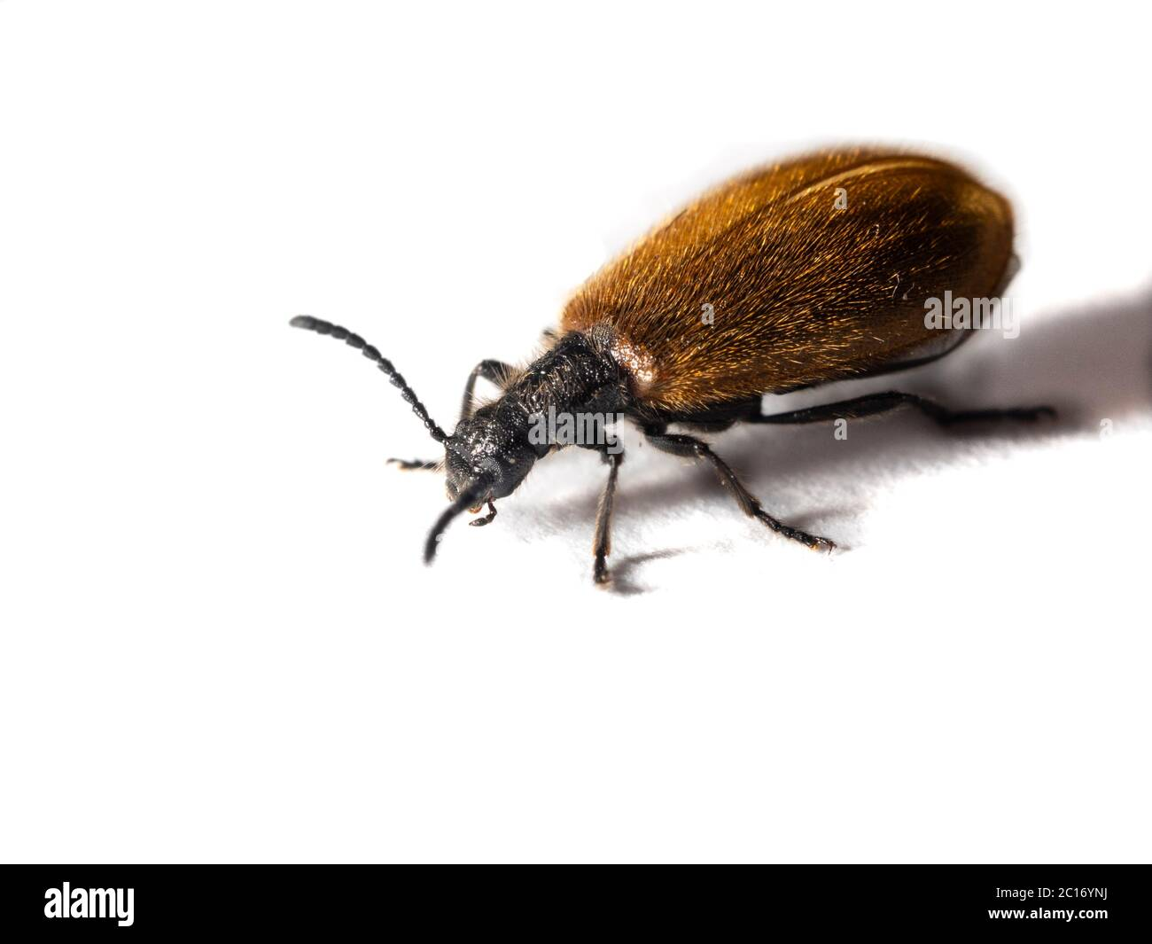 Close up of the small, hairy, bronze UK darkling beetle, Lagria hirta, on a white background Stock Photo