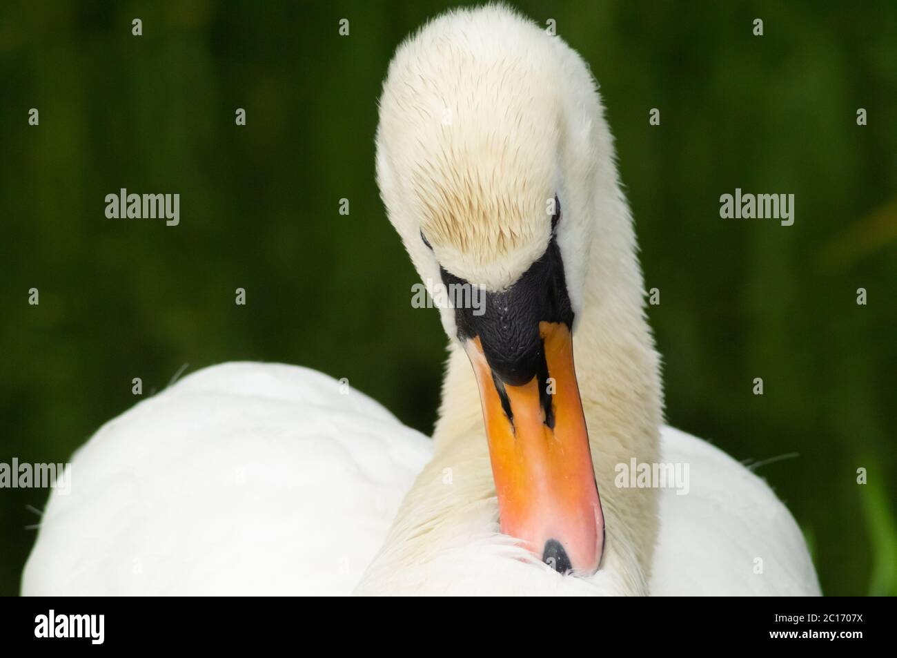 White mute swan Cygnus olor preening feathers close up head and neck -  bird anatidae preen clean maintenance pretty beautify Stock Photo