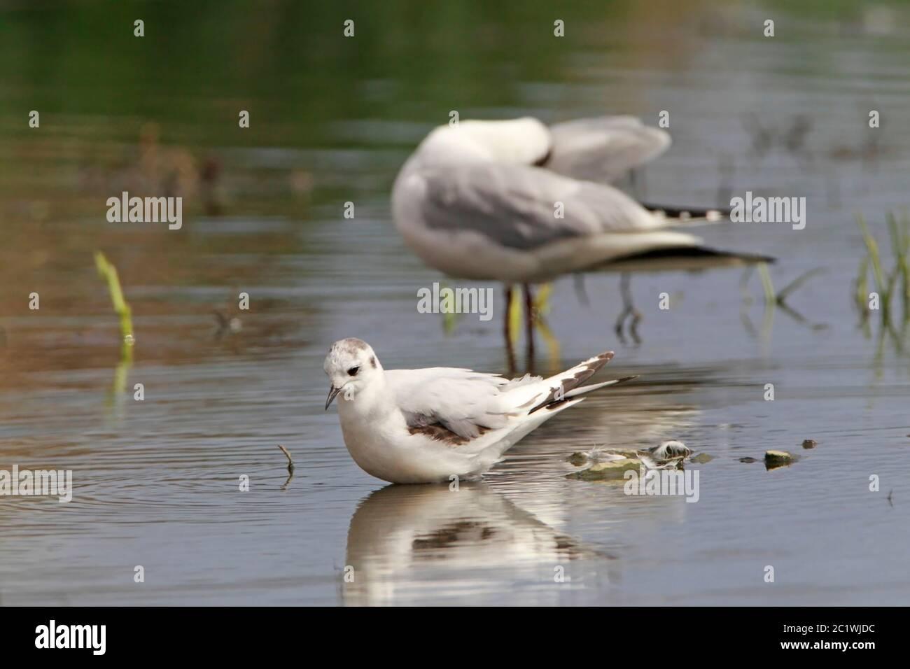 little-gull-stood-in-shallow-freshwater-scotland-uk-2C1WJDC.jpg