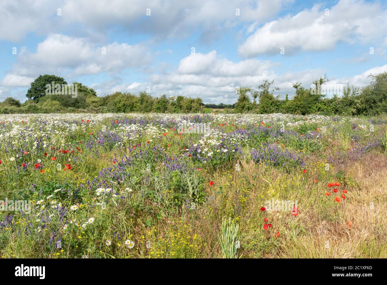 wildflower-meadow-in-hampshire-uk-with-colourful-wildflowers-including-red-poppies-tufted-vetch-and-oxeye-daisies-summer-countryside-landscape-2C1XF6D.jpg