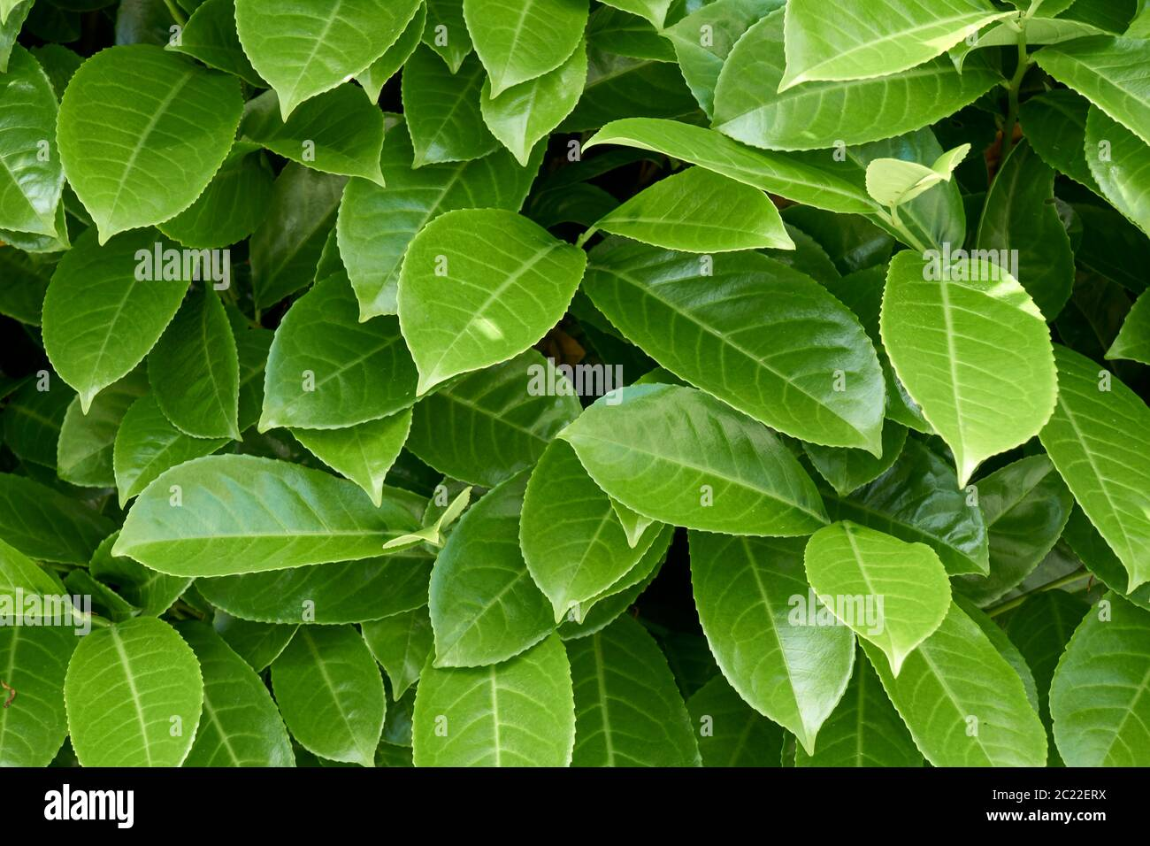 closeup-of-bright-green-salal-leaves-gau