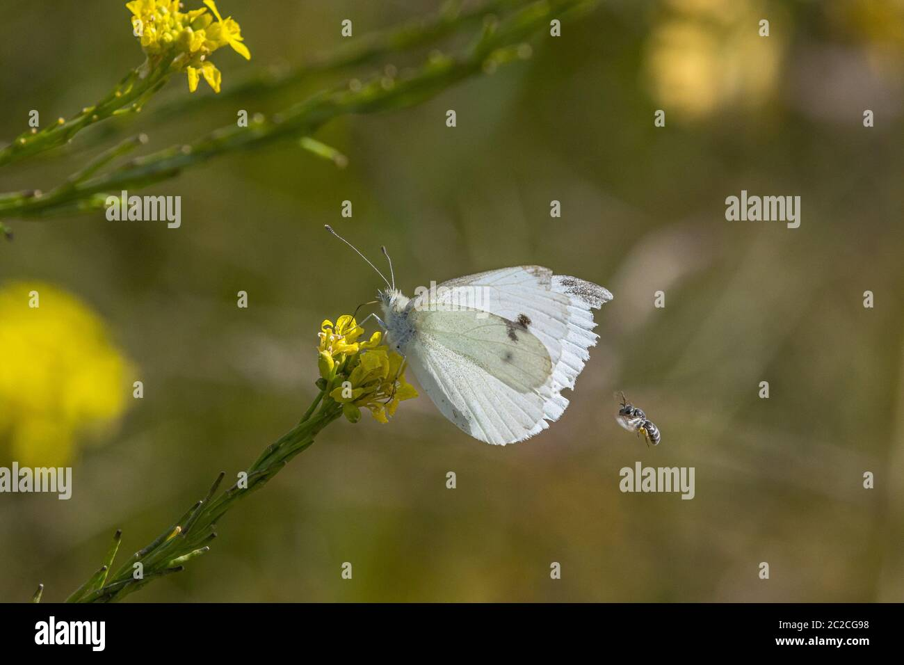A Cabbage White Butterfly (Pieris rapae) the San Luis National Wildlife Refuge in the Central Valley of California USA Stock Photo