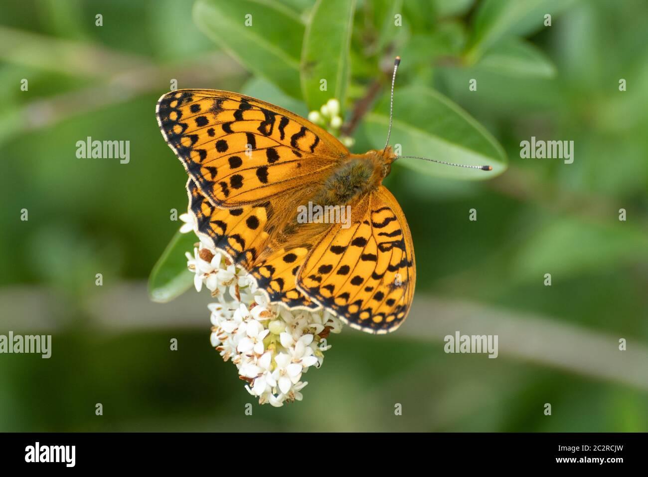 dark-green-fritillary-butterfly-speyeria-aglaja-uk-2C2RCJW.jpg