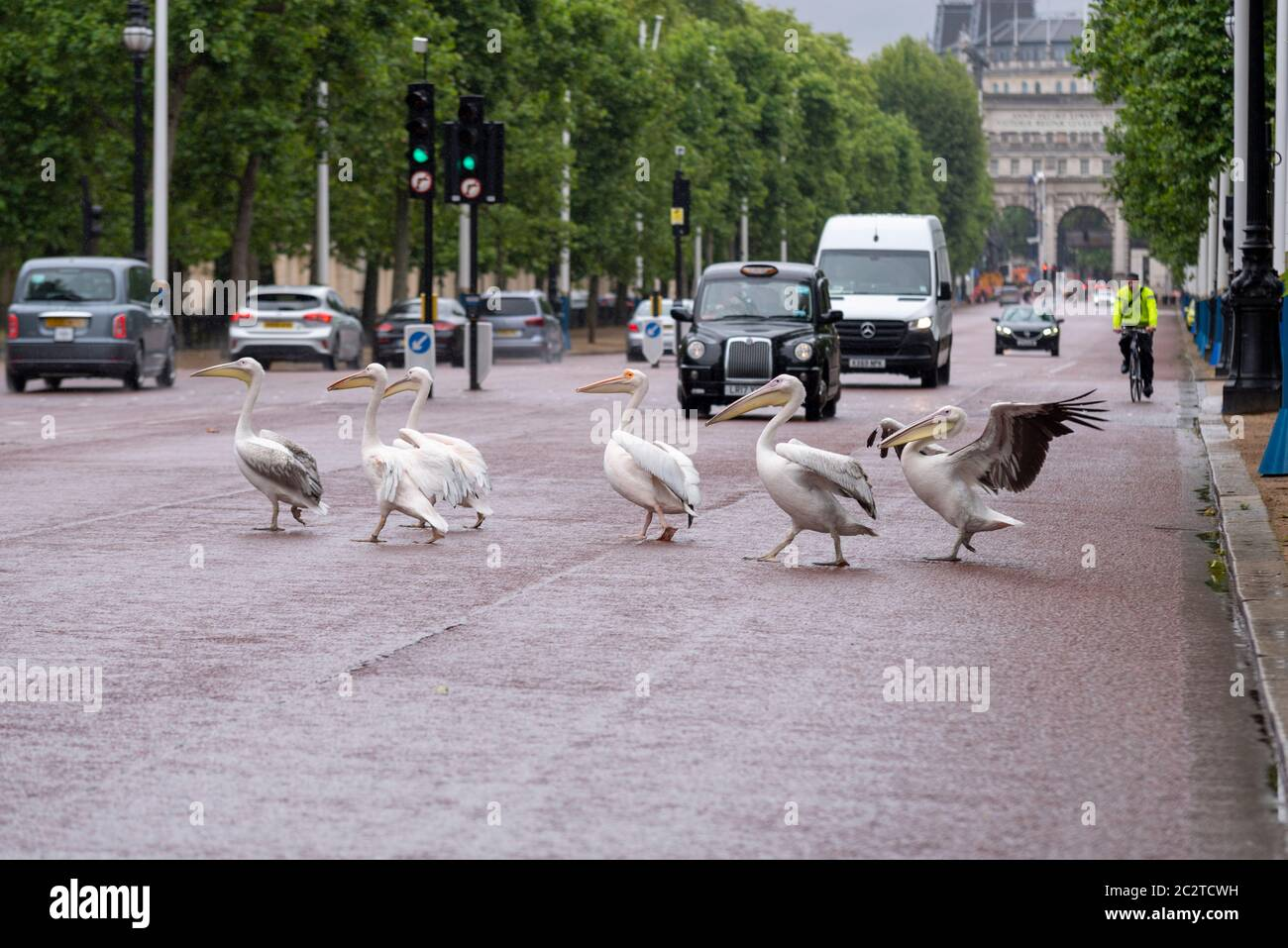 westminster-london-uk-18th-jun-2020-the-pelicans-that-live-in-st-jamess-park-decided-to-take-a-walk-across-the-mall-stopping-traffic-walking-in-the-road-park-wardens-had-to-move-them-back-2C2TCWH.jpg