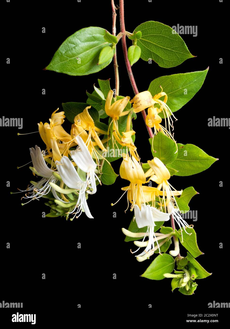 Yellow fertilised and white unfertilised flowers of the evergreen hardy climber, Lonicera japonica 'Hall's Prolific',Japanese Honeysuckle Stock Photo
