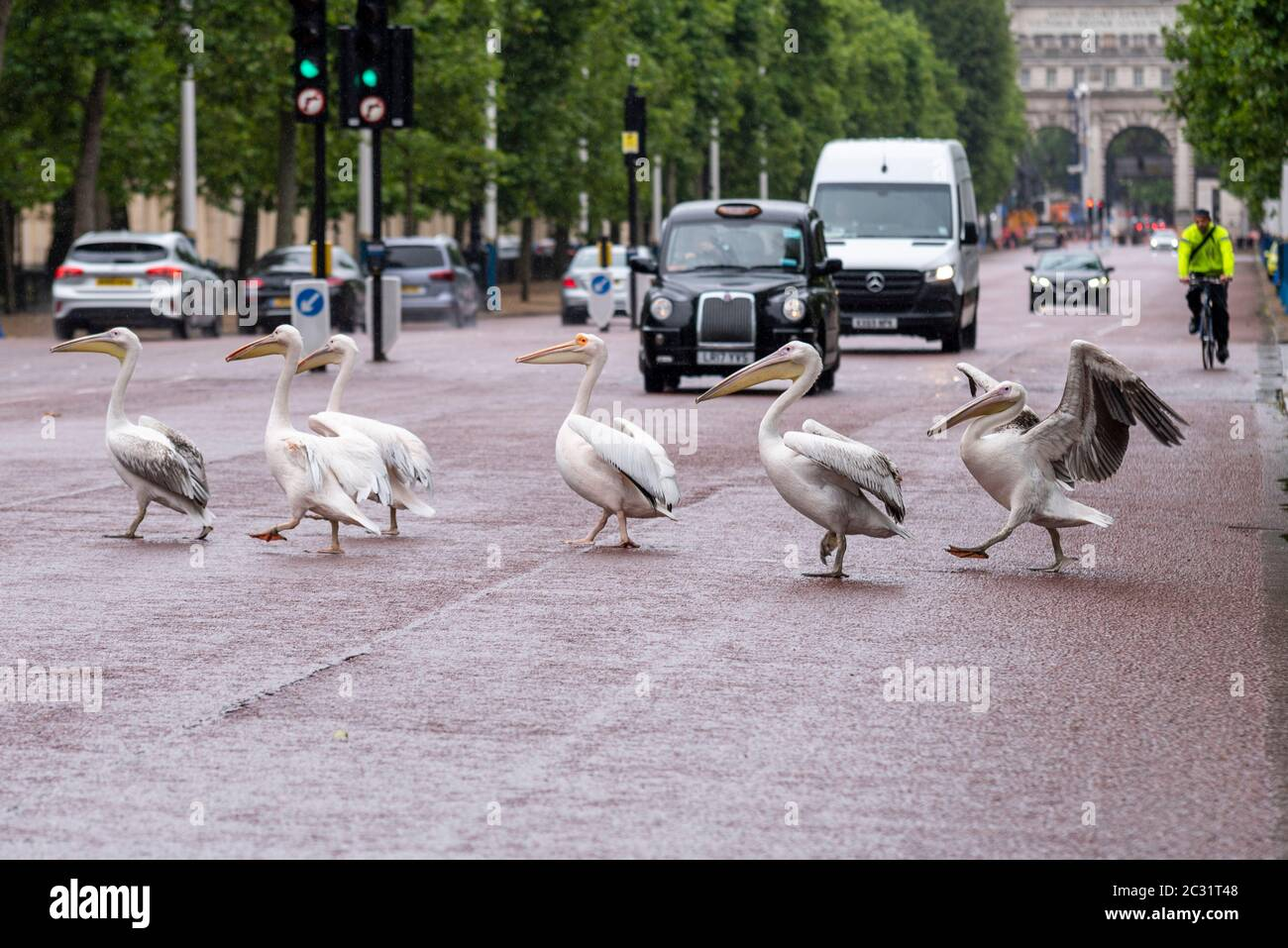 pelicans-crossing-the-mall-road-in-london-from-st-jamess-park-stopping-traffic-pelican-crossing-with-attitude-2C31T48.jpg