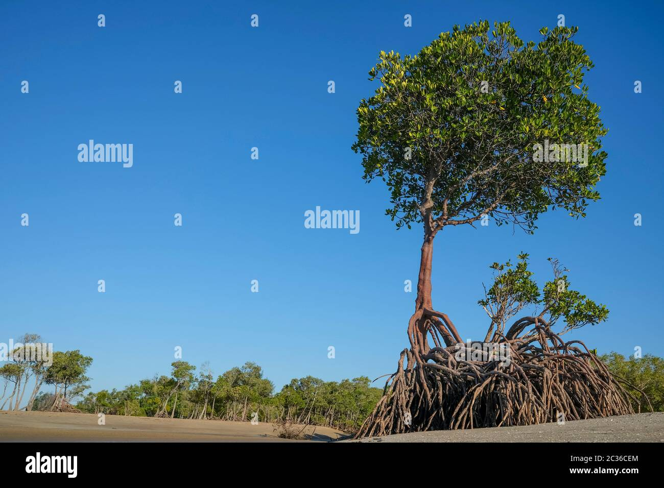 mangrove-and-mangrove-roots-at-low-tide-