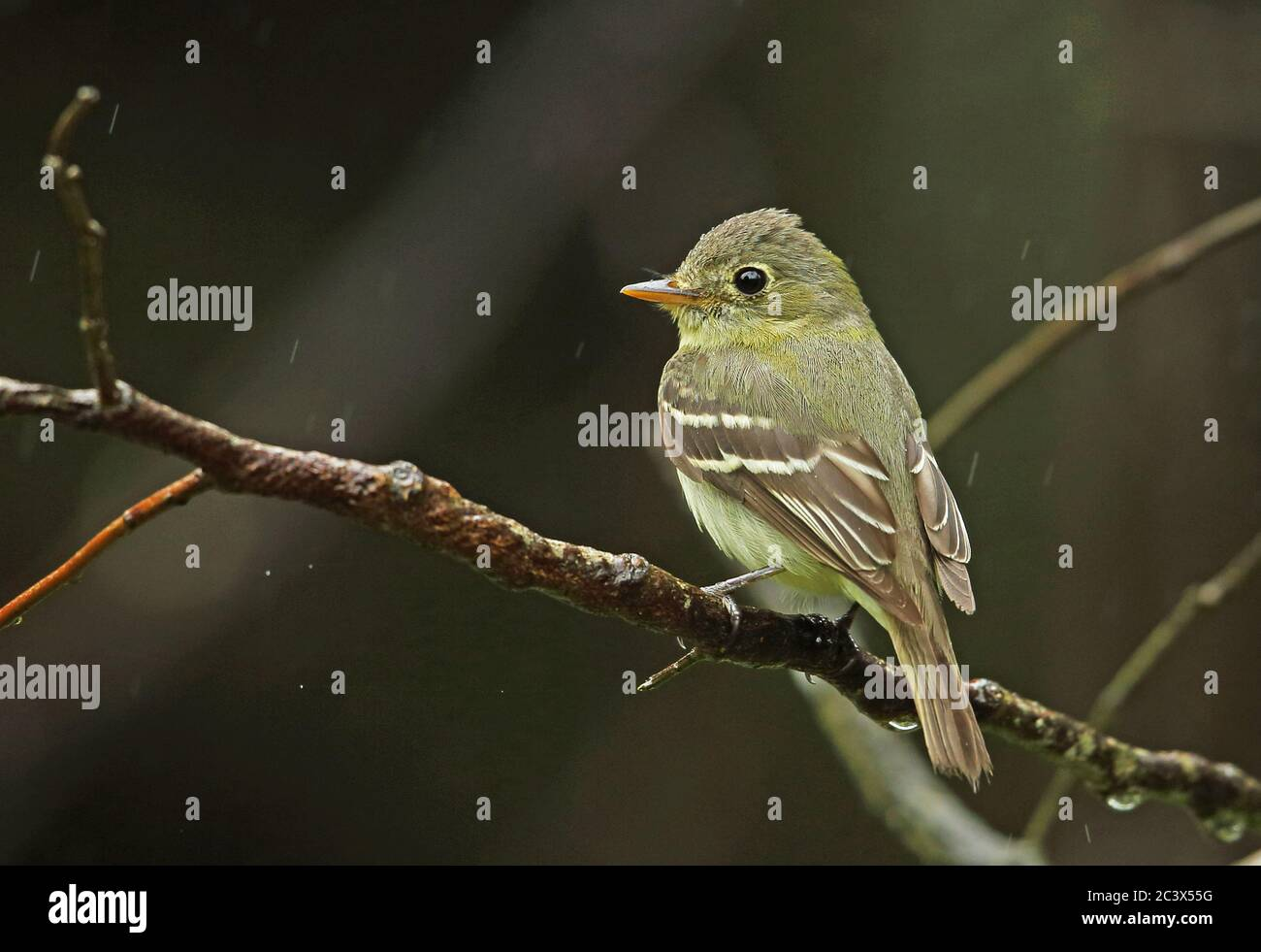 Yellow-bellied Flycatcher (Empidonax flaviventris) adult perched on branch in the rain  Pico Bonito, Honduras      February 2016 Stock Photo
