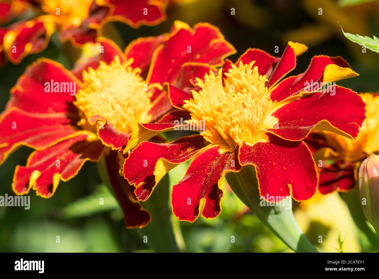 close-up-of-french-marigold-tagetes-patu