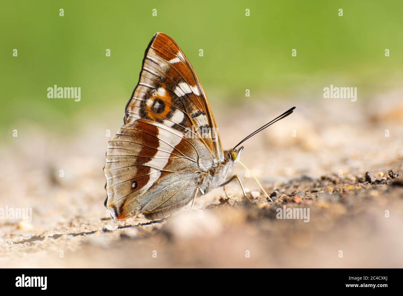 purple-emperor-butterfly-apatura-iris-puddling-on-a-wet-track-to-extract-minerals-in-late-june-uk-2C4CXKJ.jpg