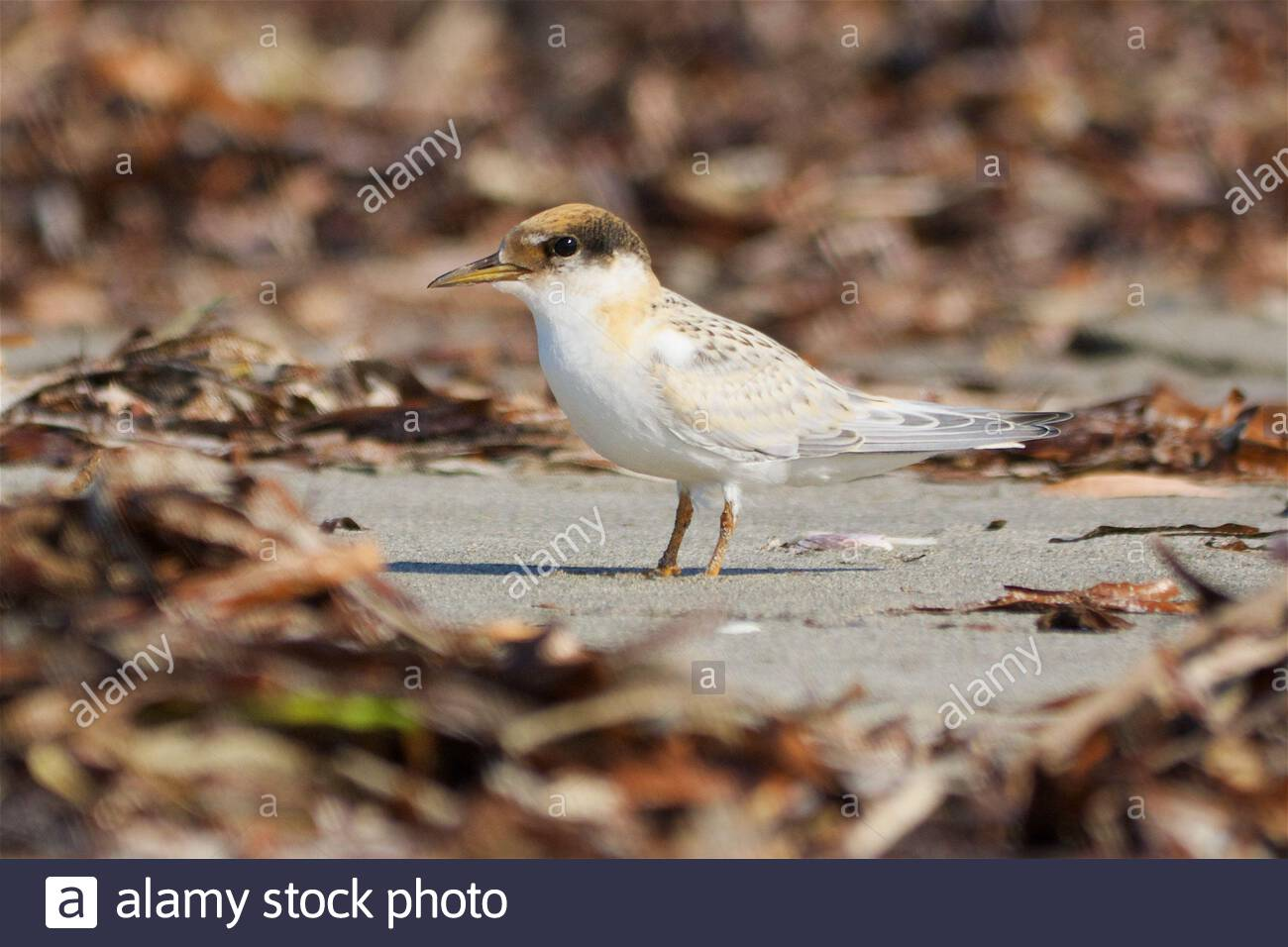 a-fairy-tern-chick-sternula-nereis-amongst-seaweed-on-the-beach-waiting-for-a-parent-to-return-with-breakfast-woodman-point-western-australia-2C4J204.jpg