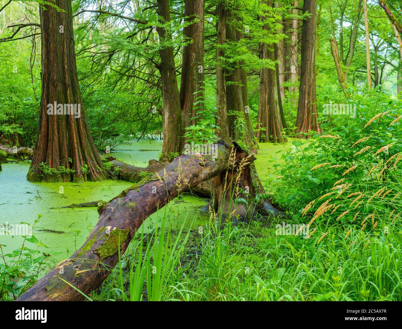 bald-cypress-swamp-cook-county-illinois-