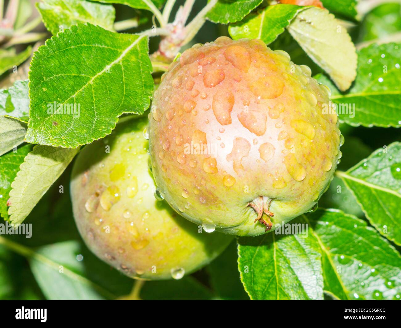 raindrops-on-immature-ripening-fruit-of-