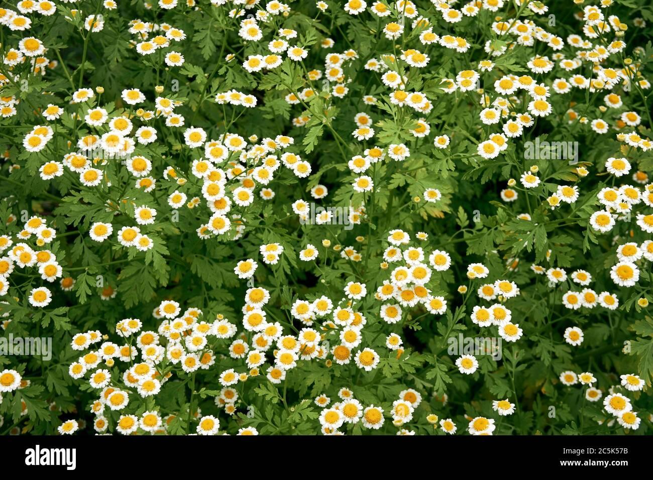 miniature-daisies-2C5K57B.jpg