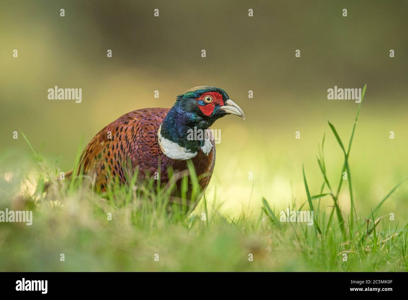 Cock Pheasant (Phasianus colchicus) on Norfolk farmland, UK Stock Photo