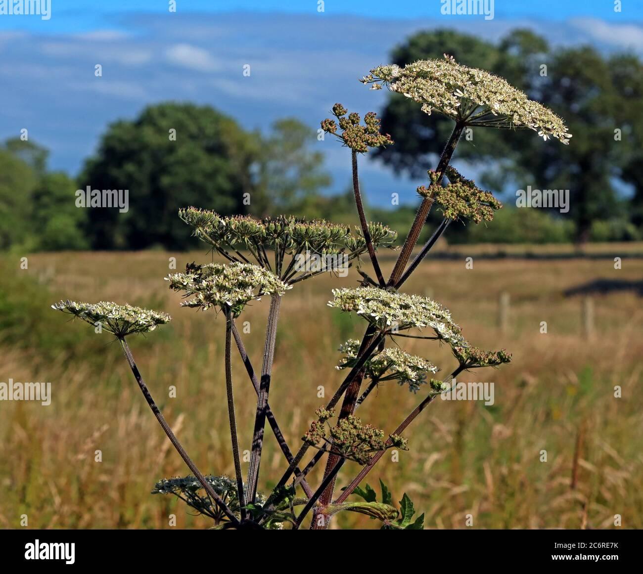 GoTonySmith,HotpixUK,@HotpixUK,England,UK,weed,farming,macro,summer,alien,invasive species,alien plant,plant,vegetation,plants,weeds,Anthriscus,sylvestris